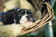 Het Puppy van Boston Terrier stock afbeeldingen