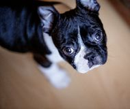 Het Puppy van Boston Terrier stock afbeelding