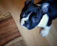 Het Puppy van Boston Terrier stock foto