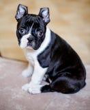 Het Puppy van Boston Terrier royalty-vrije stock fotografie