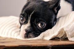 Het Puppy van Boston Terrier royalty-vrije stock afbeelding