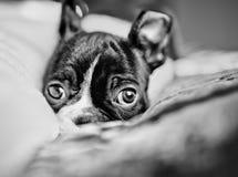 Het Puppy van Boston Terrier royalty-vrije stock afbeeldingen