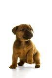 Het puppy van bruin die, tan Jack Russel in wit wordt geïsoleerd Stock Foto