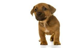 Het puppy van bruin die, tan Jack Russel in wit wordt geïsoleerd Royalty-vrije Stock Afbeeldingen