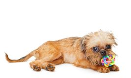 Het puppy van Brussel Griffon met bal royalty-vrije stock foto