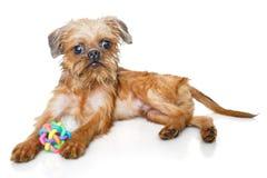 Het puppy van Brussel Griffon met bal stock afbeeldingen