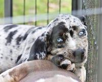 Het Puppy van Catahoula met Blauwe ogen Stock Afbeeldingen
