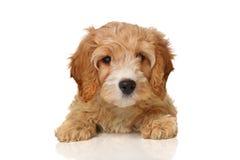 Het puppy van Cavapoo Royalty-vrije Stock Afbeelding