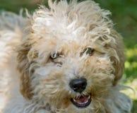 Het puppy van Cavapoo Stock Foto's