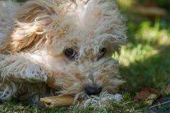 Het puppy van Cavapoo Stock Afbeelding