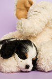Het puppy van Charles Spaniel van de koning Stock Afbeeldingen