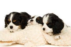 Het puppy van Charles Spaniel van de koning Stock Foto