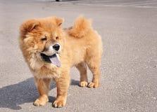 Het Puppy van Chaw van Chaw Royalty-vrije Stock Foto