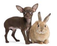 Het puppy van Chihuahua, 10 weken oud, en konijn Royalty-vrije Stock Afbeeldingen