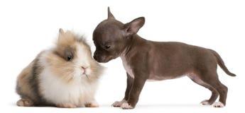 Het puppy van Chihuahua, 10 weken oud, en konijn Stock Foto's