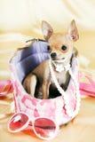 Het puppy van Chihuahua royalty-vrije stock foto's