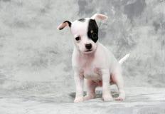 Het puppy van Chihuahua Royalty-vrije Stock Afbeeldingen