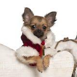 Het puppy van Chihuahua, 4 maanden oud, in Kerstmis Stock Foto's