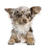 Het puppy van Chihuahua, 8 maanden oud Royalty-vrije Stock Afbeelding