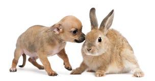 Het puppy van Chihuahua het spelen met konijn Stock Foto