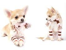 Het puppy van Chihuahua met gestreepte sokken en sjaal stock fotografie