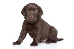 Het puppy van chocoladelabrador Stock Fotografie