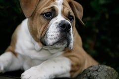 Het puppy van Conti Stock Afbeelding