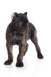 Het puppy van Corso Italiano van het riet Royalty-vrije Stock Foto's