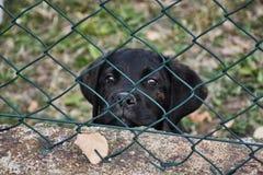 Het Puppy van Corso van het riet stock fotografie