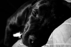 Het Puppy van Corso van het riet Royalty-vrije Stock Afbeelding