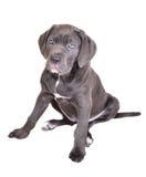 Het puppy van Corso van het riet op een witte achtergrond Royalty-vrije Stock Afbeelding