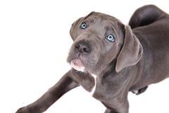 Het puppy van Corso van het riet op een witte achtergrond Stock Fotografie