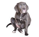 Het puppy van Corso van het riet op een witte achtergrond Royalty-vrije Stock Foto's