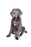 Het puppy van Corso van het riet op een witte achtergrond Royalty-vrije Stock Fotografie