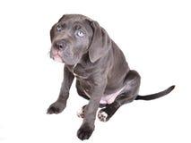 Het puppy van Corso van het riet op een witte achtergrond Royalty-vrije Stock Afbeeldingen