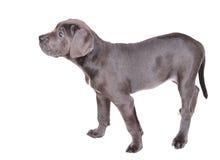 Het puppy van Corso van het riet op een witte achtergrond Stock Afbeeldingen