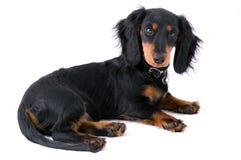 Het puppy van Dachshound het liggen stock foto