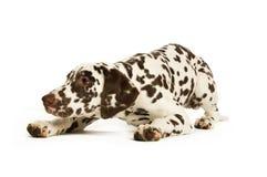 Het Puppy van Dalmation Stock Afbeelding
