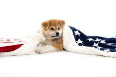 Het puppy van de Akitahond onder een deken stock afbeelding