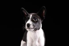Het puppy van de Basenjihond Stock Afbeeldingen