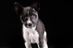 Het puppy van de Basenjihond royalty-vrije stock afbeeldingen