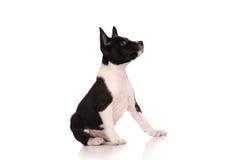 Het puppy van de Basenjihond Stock Foto