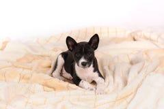 Het puppy van de Basenjihond Stock Foto's