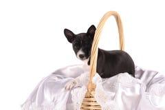 Het puppy van de Basenjihond in de mand Stock Afbeelding
