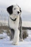 Het puppy van de bobtail op het open gebied royalty-vrije stock afbeeldingen