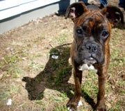 Het puppy van de bokser Royalty-vrije Stock Foto