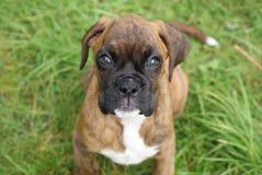 Het Puppy van de bokser Stock Afbeeldingen