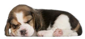 Het Puppy van de brak, 1 maand oud, het liggen Royalty-vrije Stock Afbeeldingen