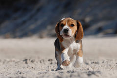 Het puppy van de brak stock fotografie