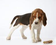 Het puppy van de brak stock foto
